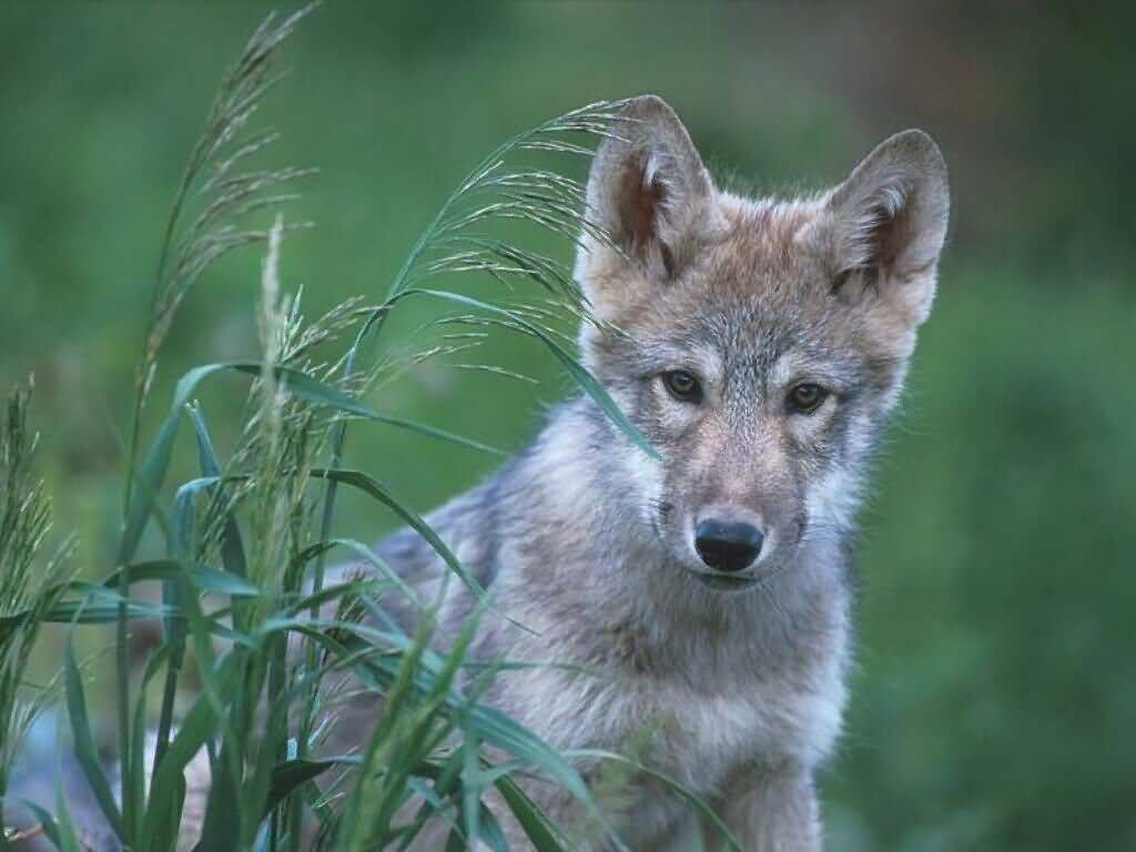 Gray wolf pup quebec 1024x768 bandwidth thief