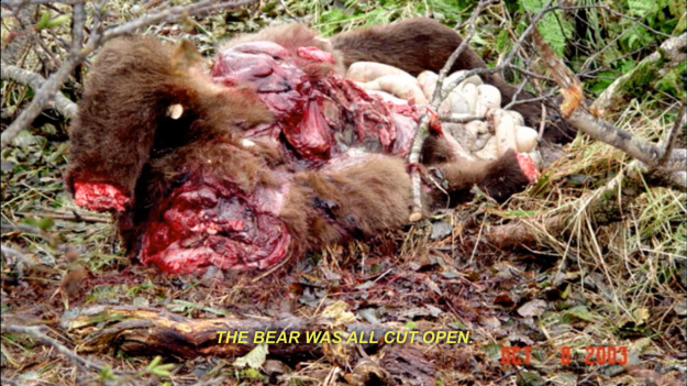 "Figure 4. Still from Werner Herzog's Grizzly Man (2005). This is the carcass of bear 141 after he had been slain by human hunters in an act of retribution. This photograph is shown while Sam Egli describes how the bear was ""full of people"" but it is unclear whether the human remains had been removed prior to or after the photograph was taken, producing a zone of indiscernibility as to where human and animal flesh begins and ends."