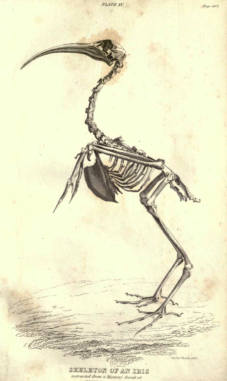 Plate IV, Skeleton of an Ibis from a Mummy found at Thebes.