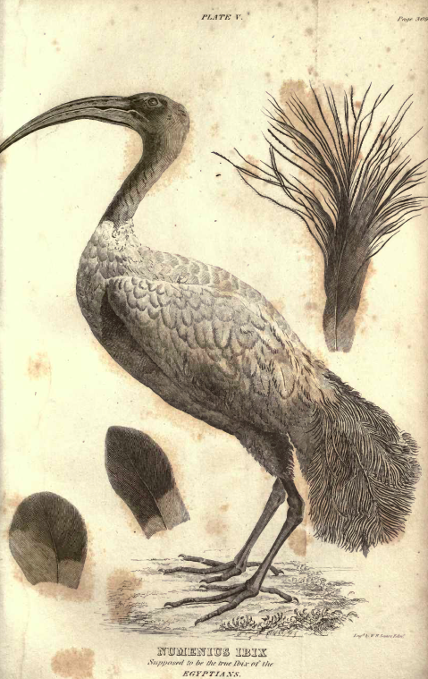 Plate V, Numenius Ibis, supposed true Ibis of the Egyptians.