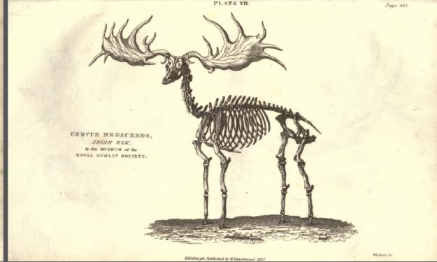 Plate VII. Cervus megaceros, Irish Elk in the Museum of the Royal Dublin Society.