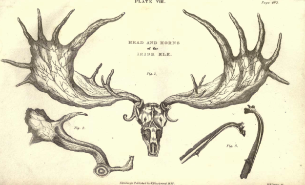 Plate VIII. Fig. 1, Head and Horn of an Irish Elk. Fig. 2, Portion of a Cast Horn. Fig. 3, An Internal and External View of a Perforated Rib.